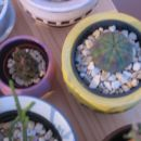 Euphorbia obesa in dlakasti anakampseros