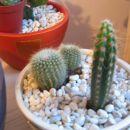 Stetsonia coryne in dva okrogla kaktusa...